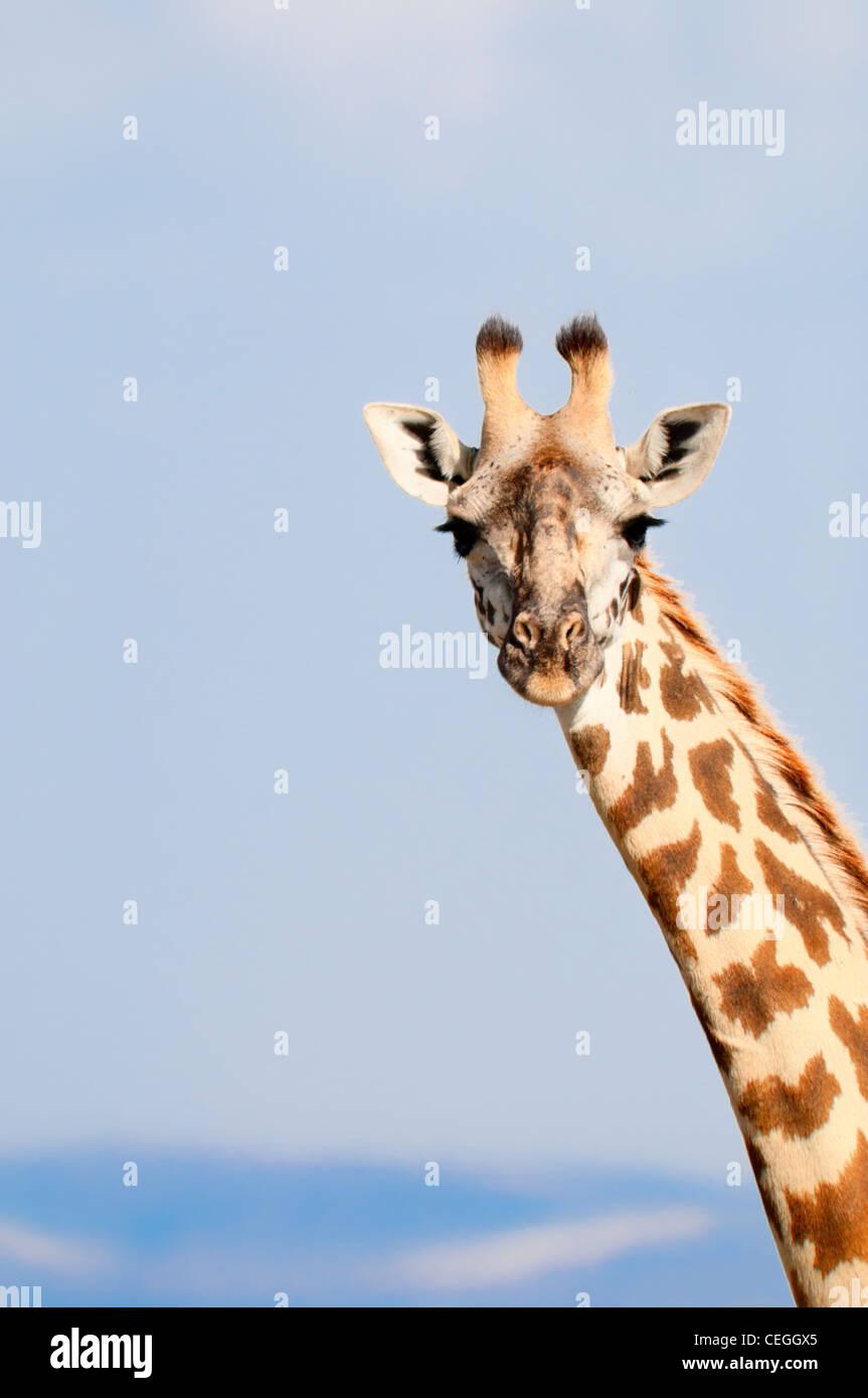 masai-giraffe-giraffa-camelopardalis-loo