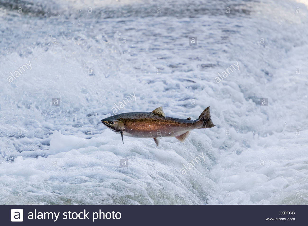 lake-ontario-chinook-salmon-attempting-l