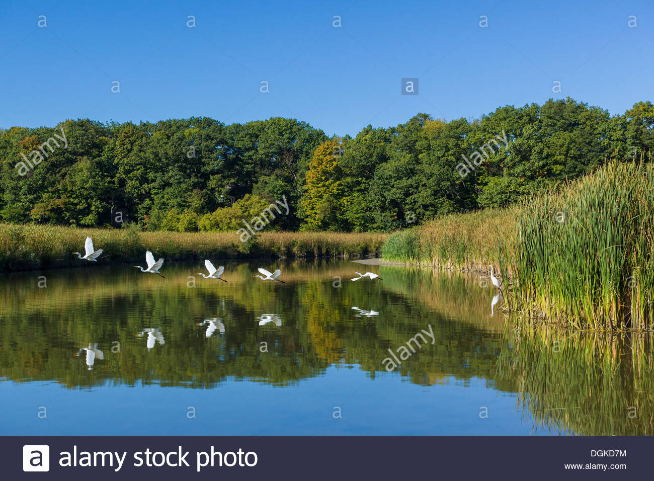 combination-of-6-photos-of-great-egret-t