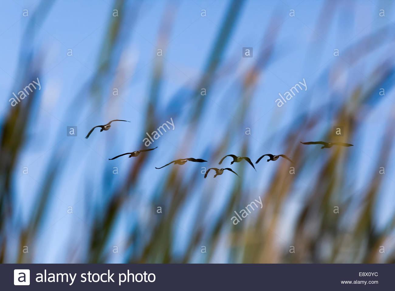 flock-of-canada-geese-branta-canadensis-