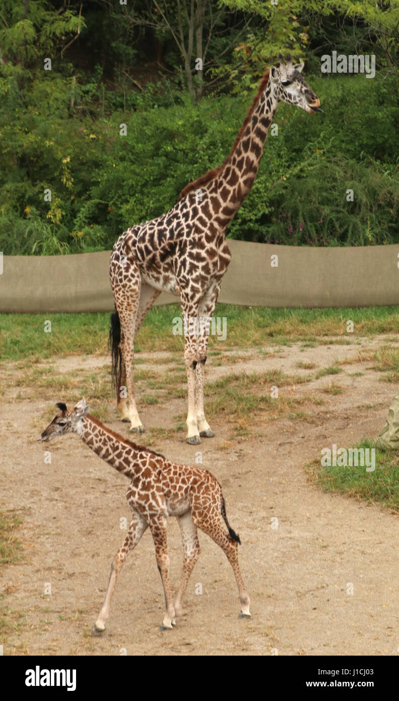 Masai Giraffe with babies at Cincinnat Zoo - Stock Image
