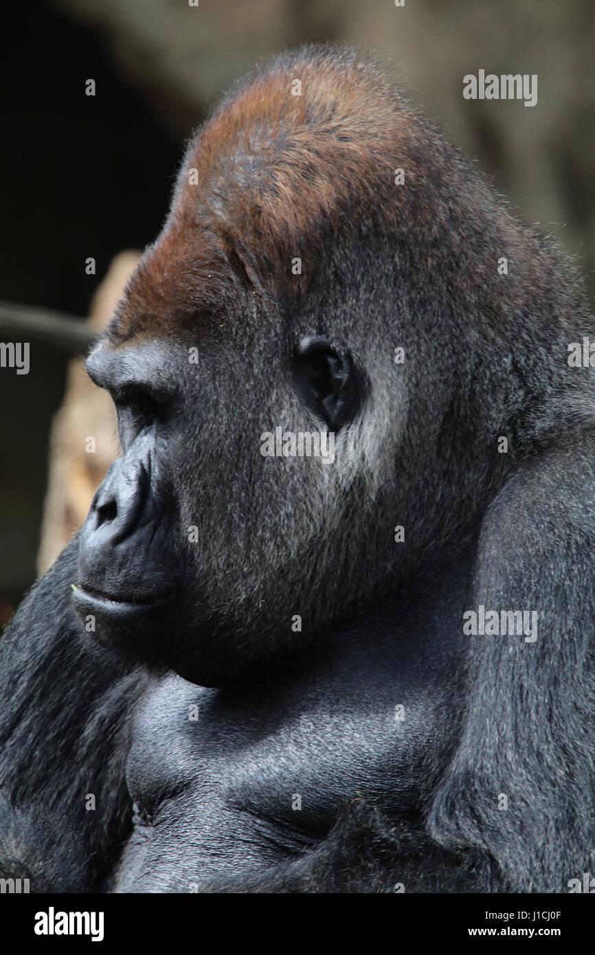 Lowland gorilla face closeup silverback male Cincinnati Zoo, Ohio - Stock Image