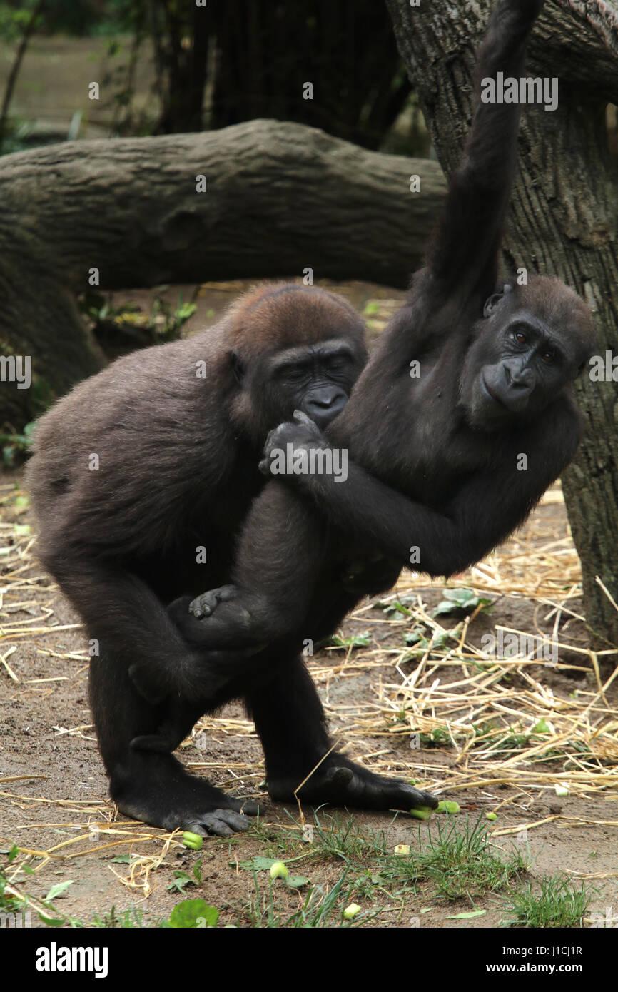 Lowland gorilla babies playing Cincinnati Zoo, Ohio - Stock Image