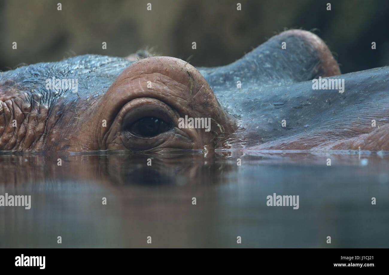 hippopotamus eye and ear close up Cincinnati Zoo, Ohio - Stock Image
