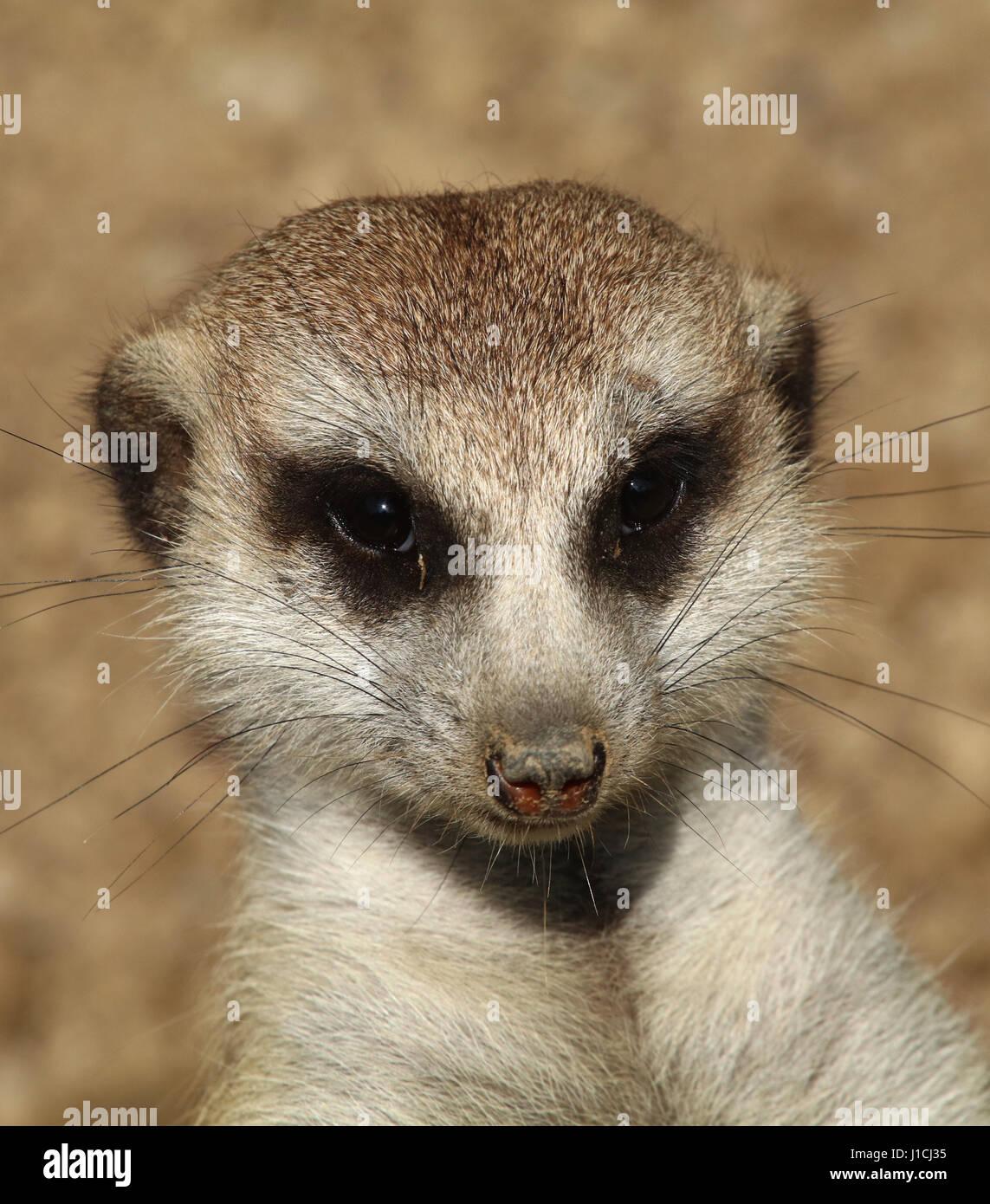 meerkat or suricate (Suricata suricatta) at Cincinnati zoo Face close up - Stock Image