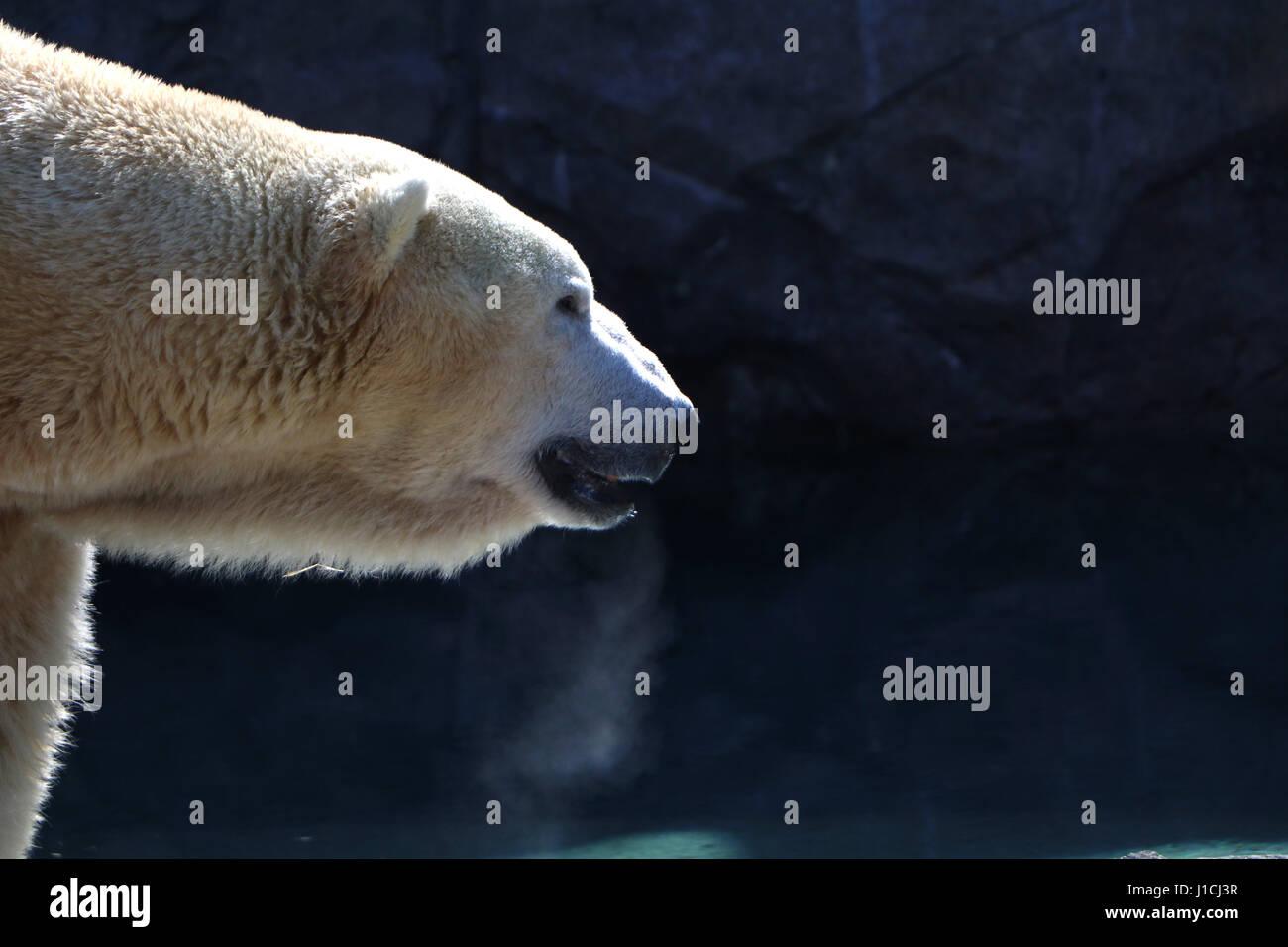 Polar bear Cincinnati Zoo with breath condensation - Stock Image