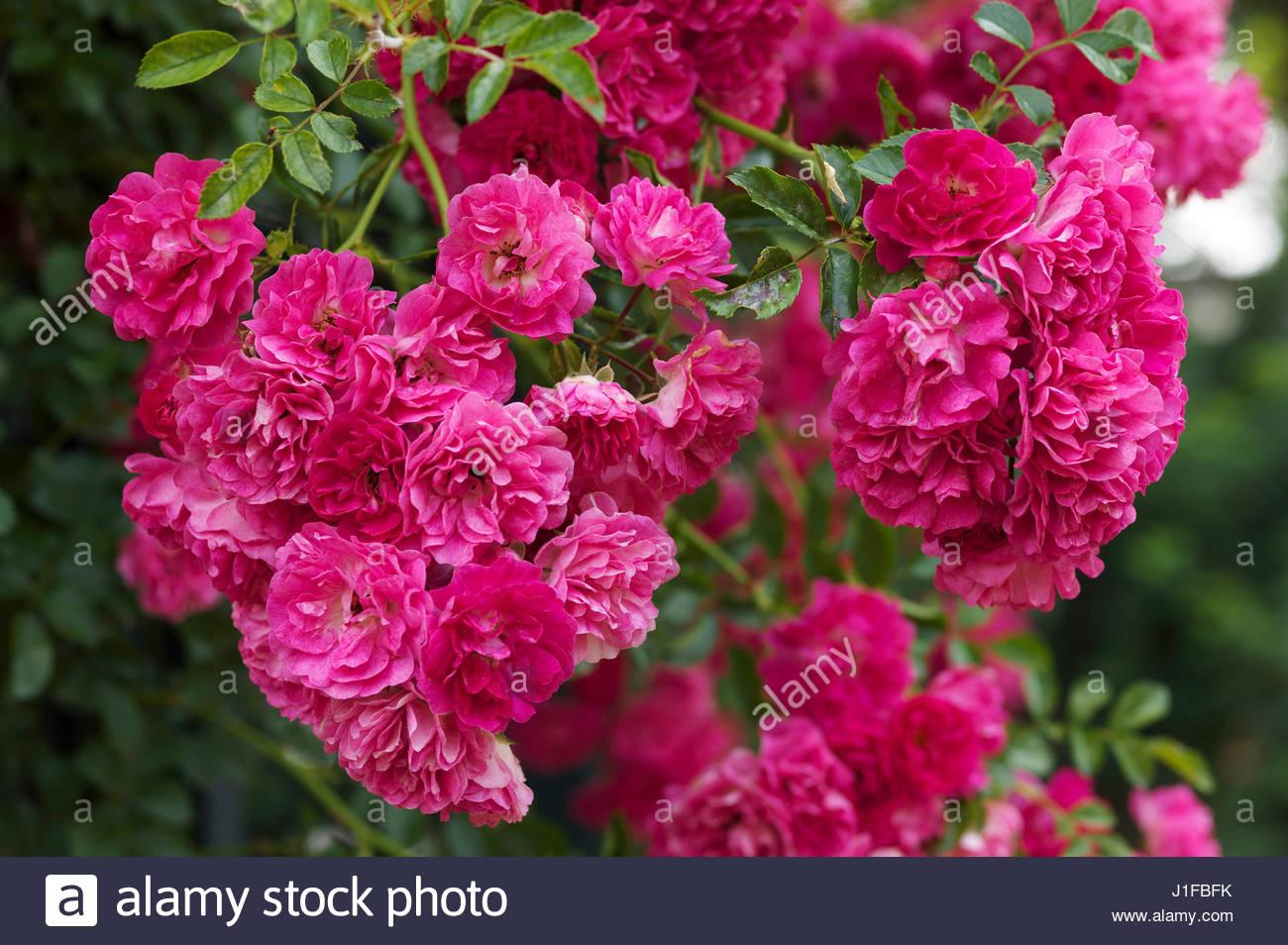 excelsa rose stock photos excelsa rose stock images alamy. Black Bedroom Furniture Sets. Home Design Ideas