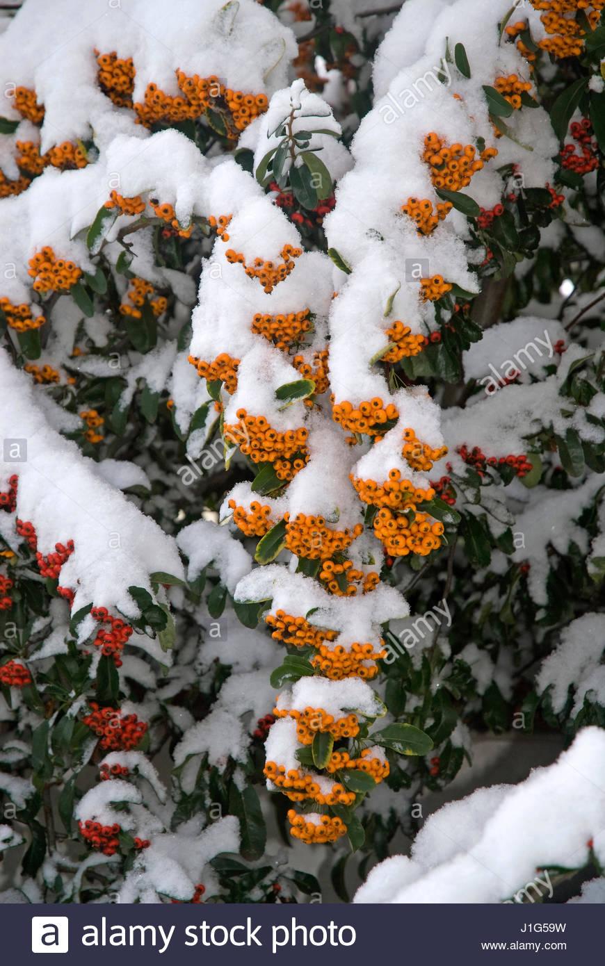 Pyracantha 'Orange Glow' (buisson ardent), Arbuste - Stock Image