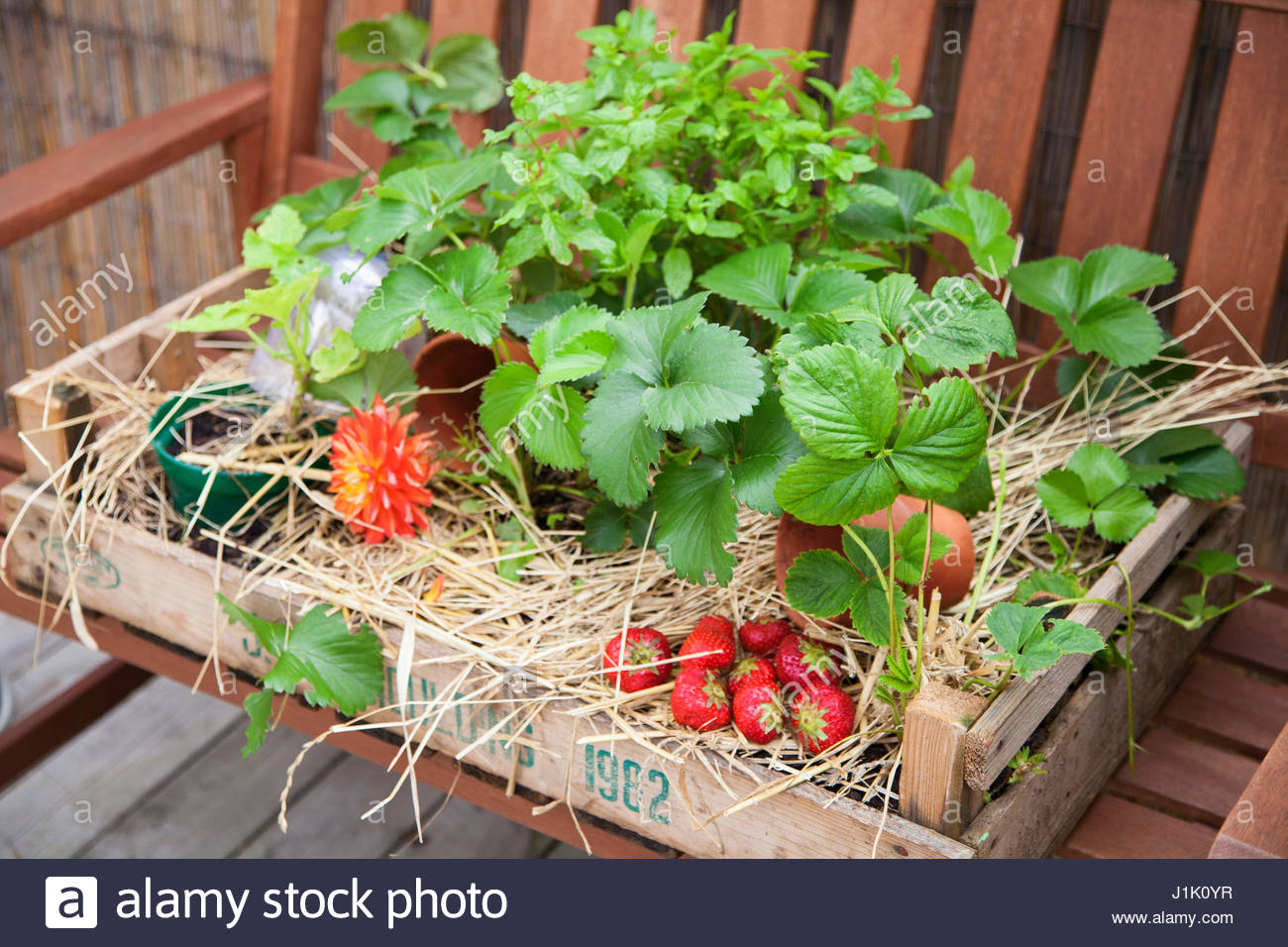 MINI ALLOTMENT CRATE WITH STRAWBERRIES MINT AND CUCUMBER - Stock Image