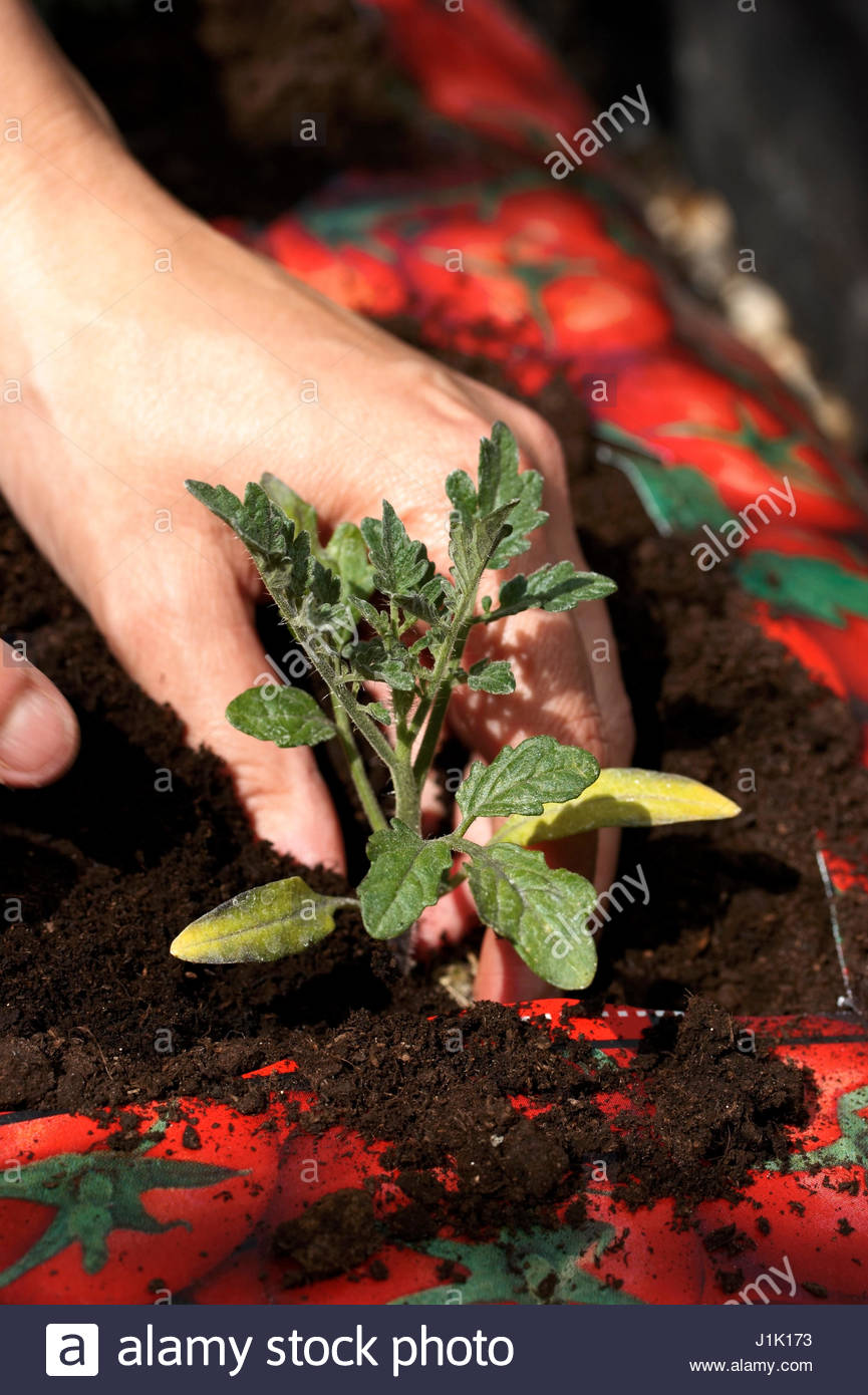 PLANTING UP TOMATO PLUG SEEDLINGS IN GROW BAG   FIRM IN. - Stock Image