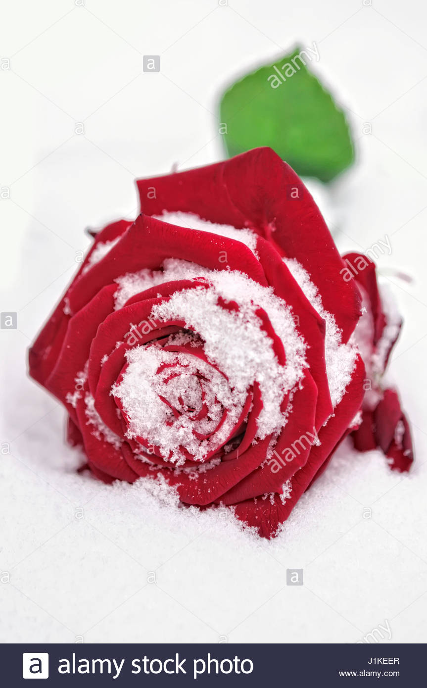 RED ROSE IN THE SNOW - Stock Image