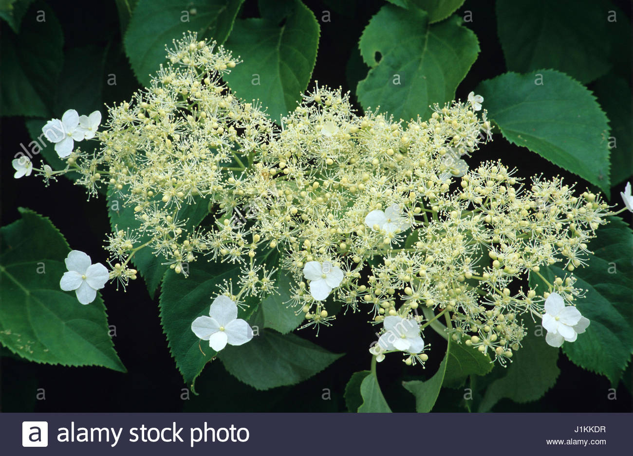 climbing hydrangea hydrangea petiolaris stock photos. Black Bedroom Furniture Sets. Home Design Ideas
