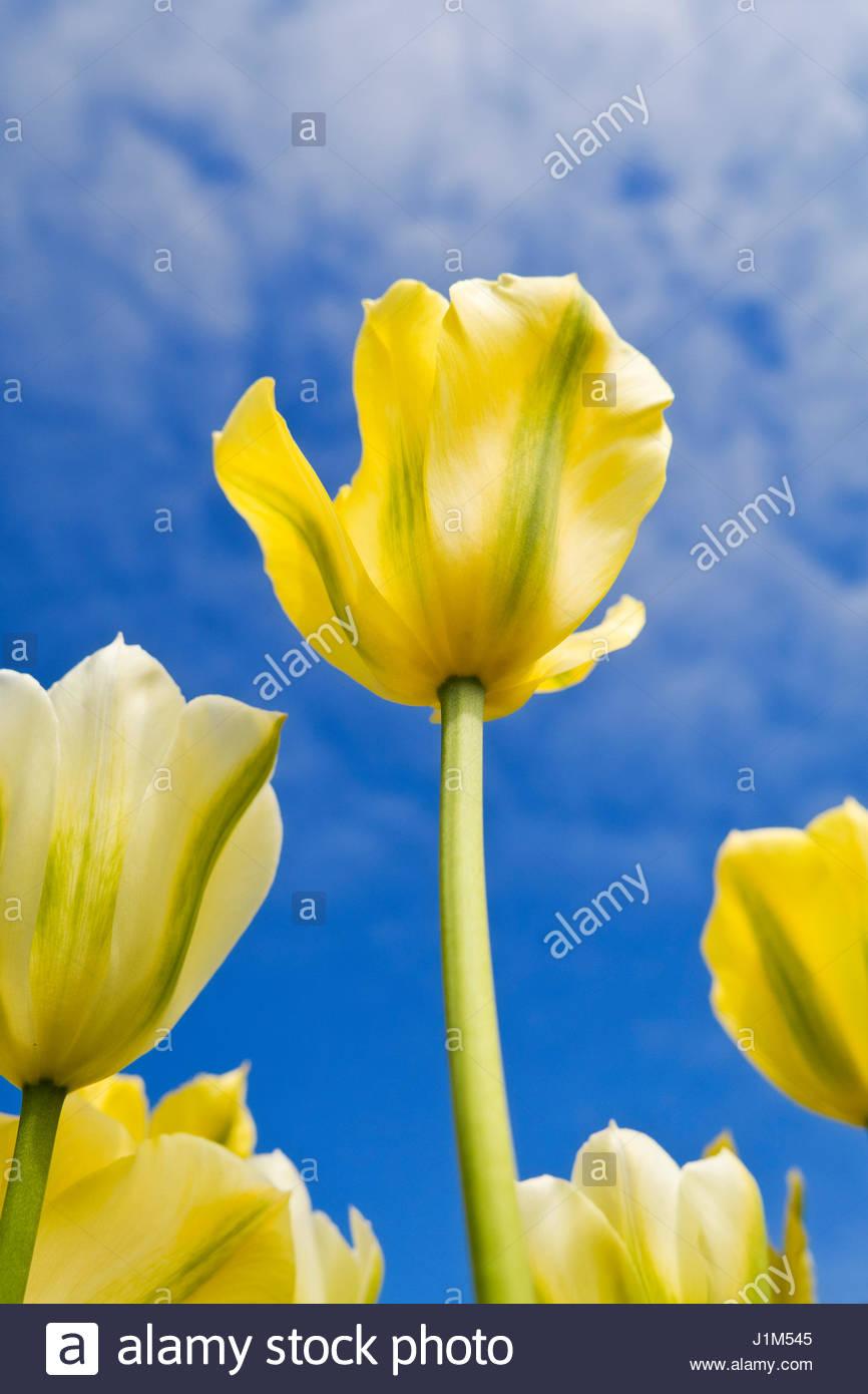 TULIPA 'SPRING GREEN' - Stock Image