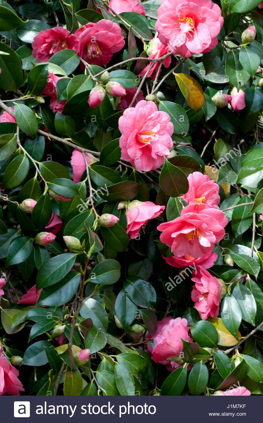 Camellia lady clare stock photos camellia lady clare - Camelia fotos ...