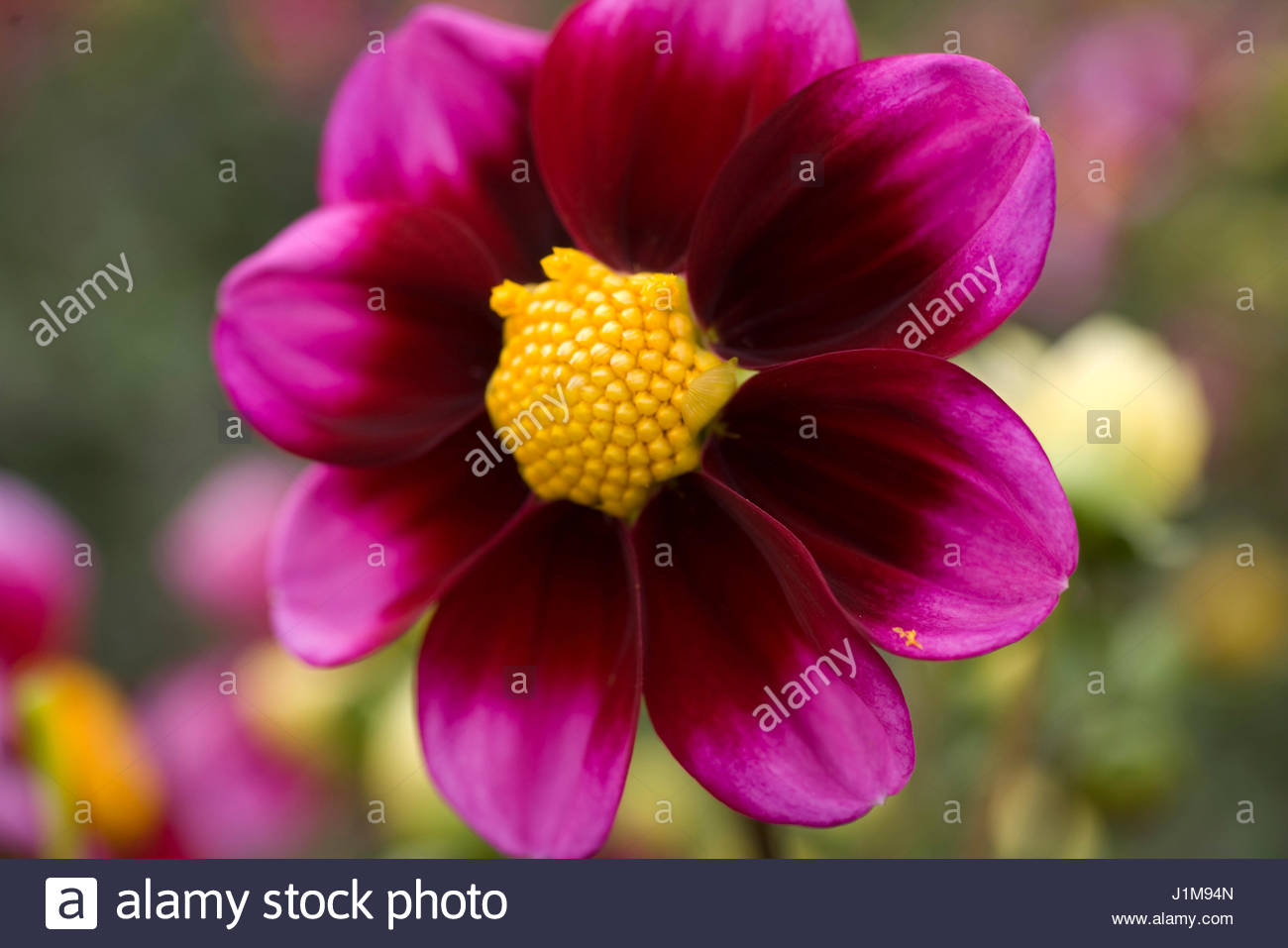 DAHLIA 'BASHFUL' (SINGLE) - Stock Image