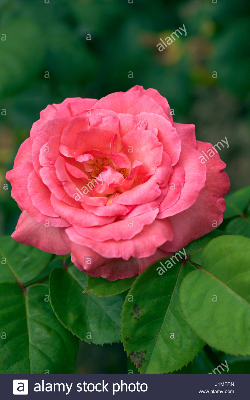 Panthere stock photos panthere stock images alamy - Image panthere rose ...