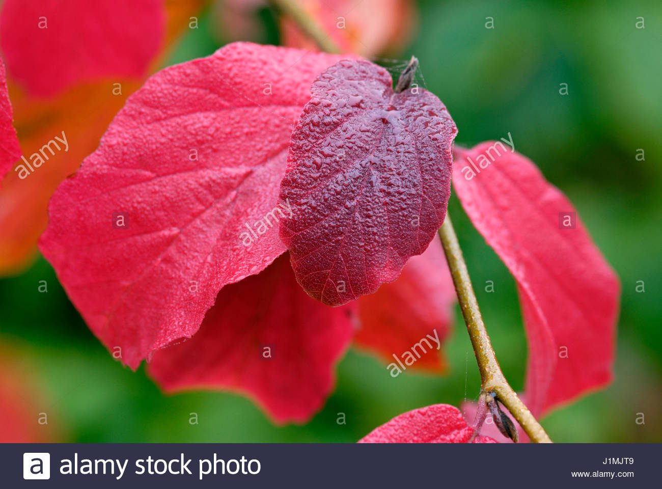 WATER DROPLETS ON AUTUMN LEAVES OF PARROTIA PERSICA - Stock Image
