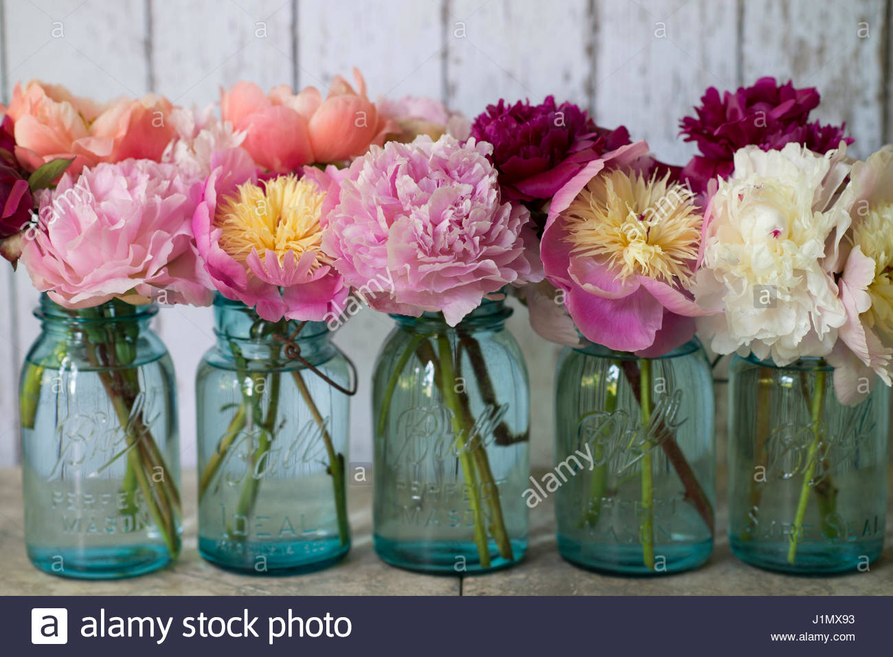PAEONIA LACTIFLORA 'BOWL OF BEAUTY'  'SARAH BERNHARDT' AND 'CORAL CHARM' IN VINTAGE BLUE - Stock Image