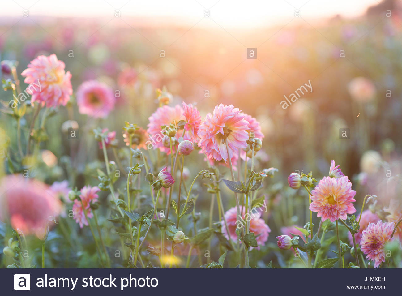 DAHLIA 'CAFE AU LAIT' GROWING IN FIELD - Stock Image