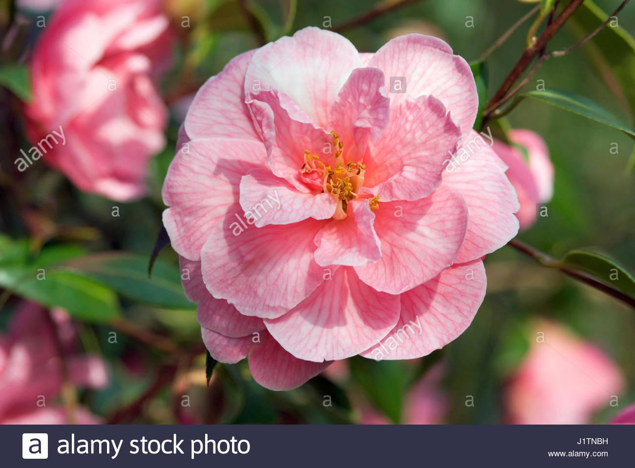 Camellia donation stock photos camellia donation stock - Camelia fotos ...