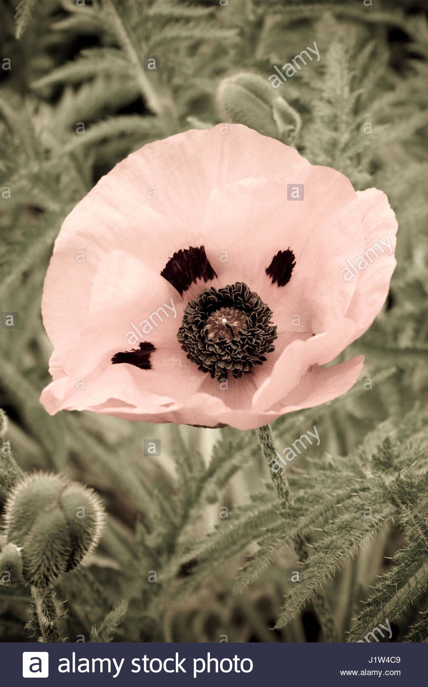 PAPAVER  ARTISTICALLY MANIPULATED IMAGE - Stock-Bilder