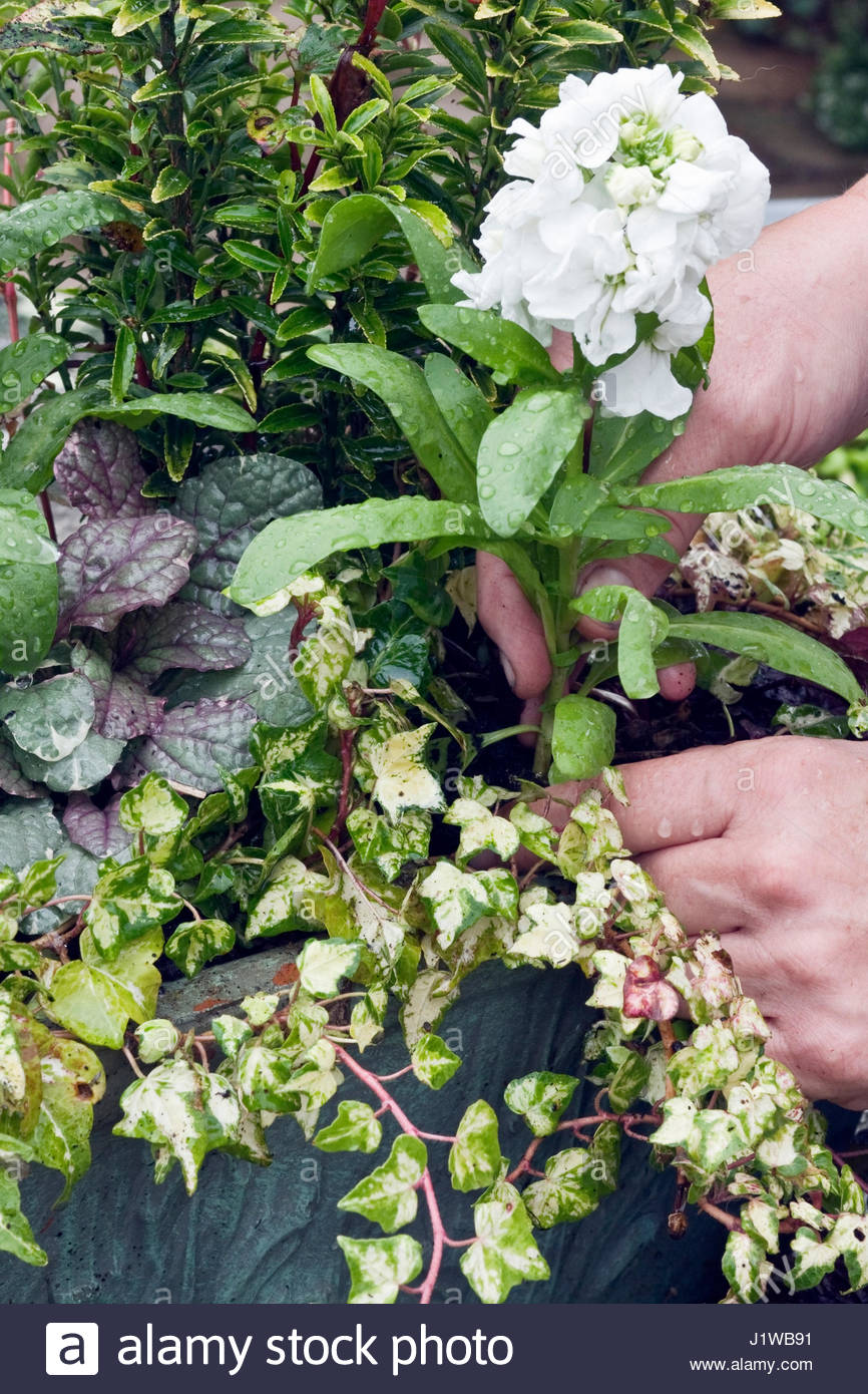 PLANTING MATHIOLA 'HOT CAKES MIXED' INTO AN AUTUMN CONTAINER - Stock Image