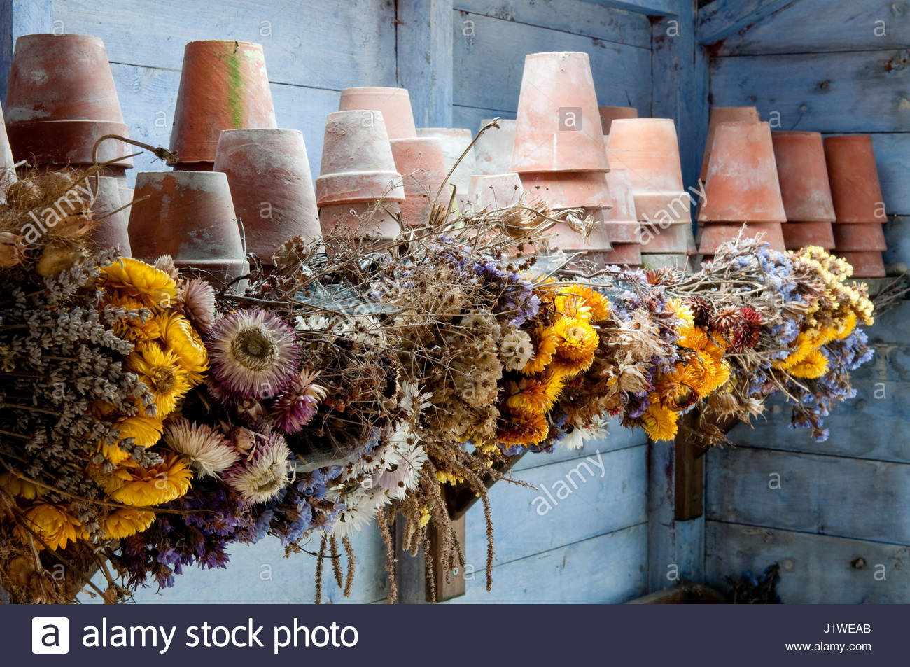 DRYING FLOWERS IN THE POTTING SHED - Stock Image
