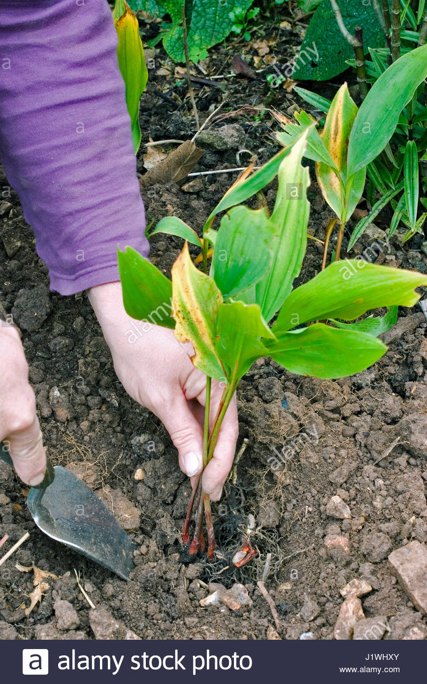 PLANTING CONVALLARIA MAJALIS (LILY OF THE VALLEY) - Stock Image