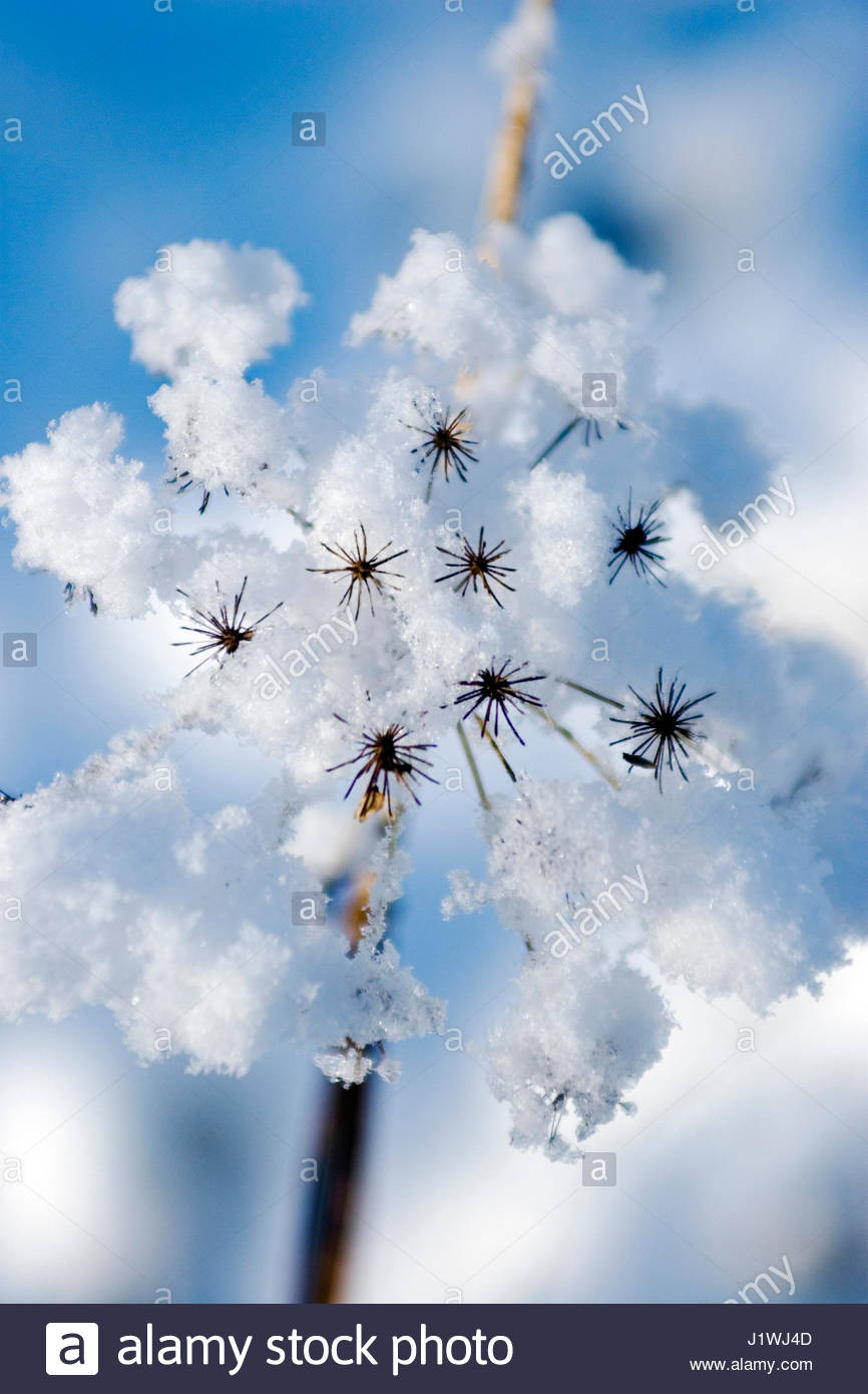 SEED HEAD IN THE SNOW - Stock Image