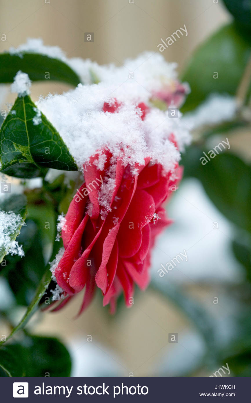 CAMELLIA HYBRID  BLACK LACE  IN  SPRING COVERED IN SNOW - Stock Image
