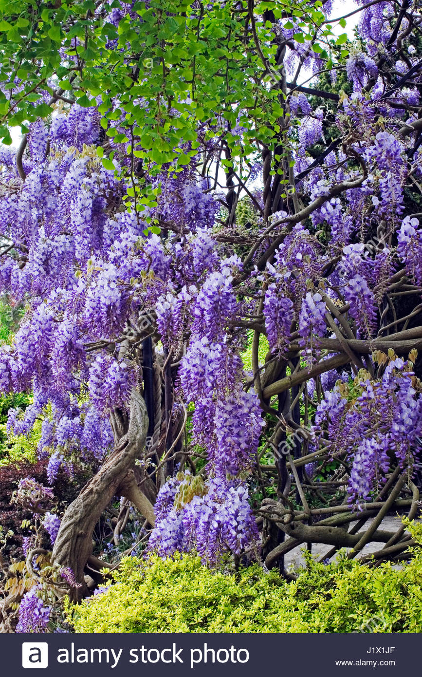 WISTERIA SINENSIS (CHINESE WISTERIA;CHINESE KIDNEY BEAN) AT KEW GARDENS SURREY ENGLAND - Stock Image