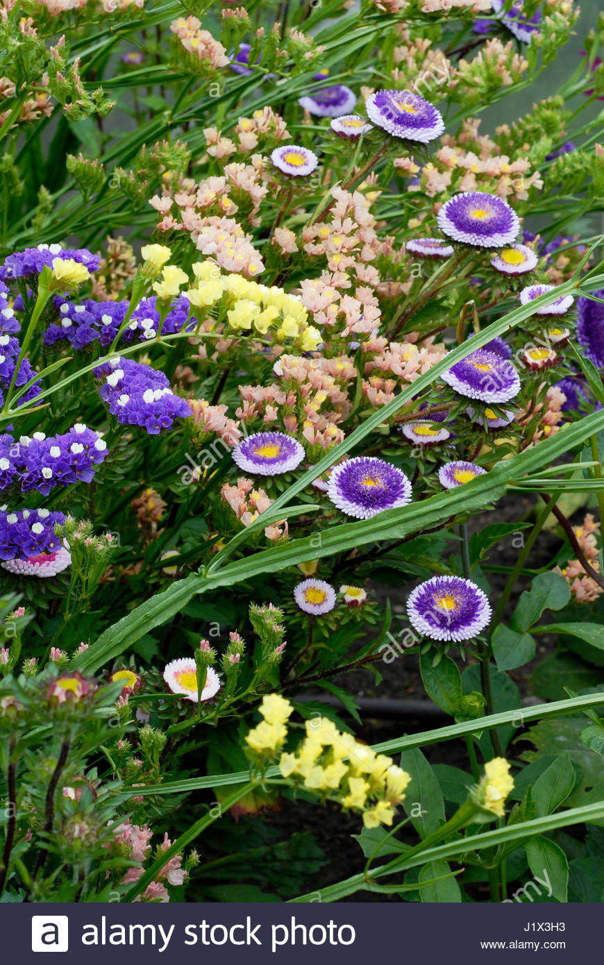 FLOWERS IN THE RAISED BED FOR CUT FLOWERS IN THE MODEL ALLOTMENT  INCLUDE LIMONIUM SINUATUM ''FOREVER MIXED'' - Stock Image