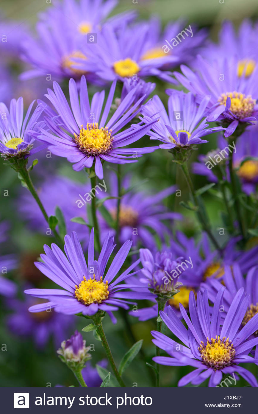 ASTER AMELLUS 'VIOLET QUEEN' - Stock Image