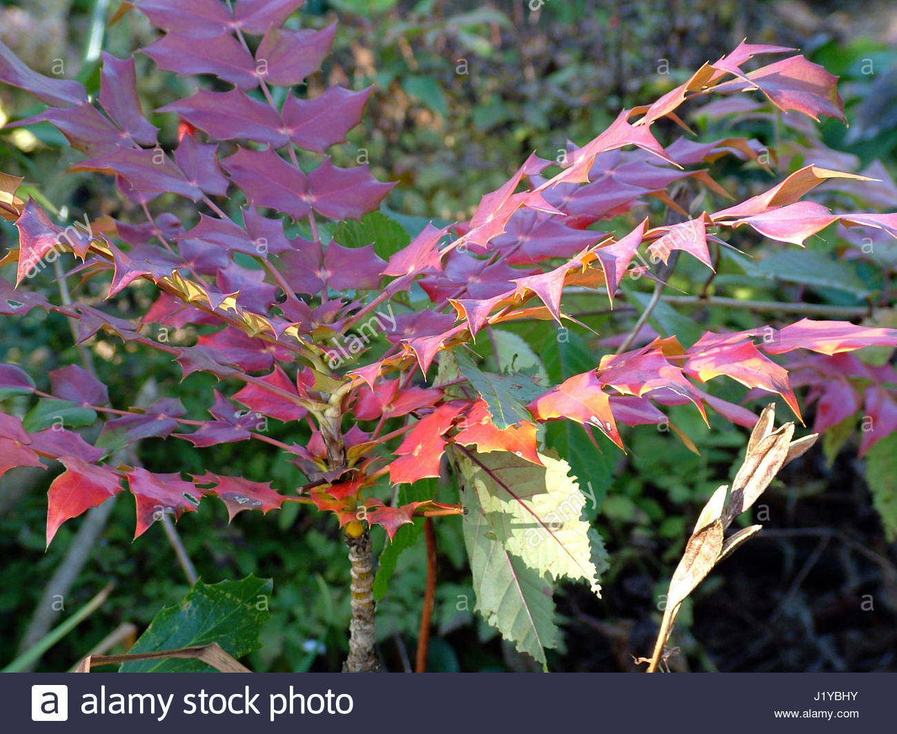 Bealei stock photos bealei stock images alamy for Mahonia japonica