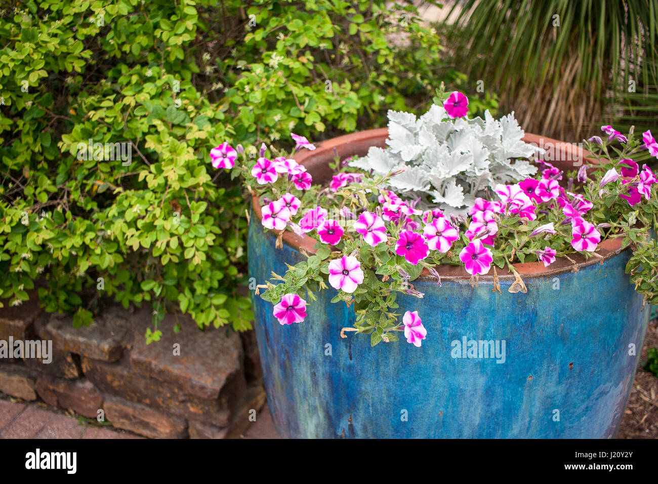 White petunias stock photos white petunias stock images alamy - Growing petunias pots balconies porches ...