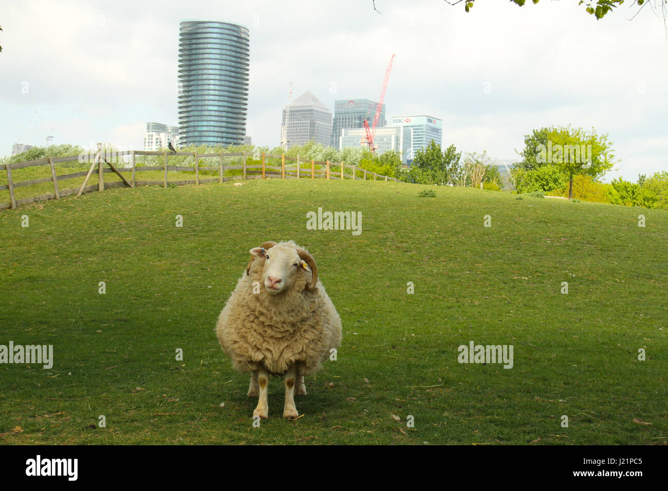 London, UK. 23rd Apr, 2017.   A sheep in a pen at the Madchutte Park and Farm in East London in mid spring with - Stock Image