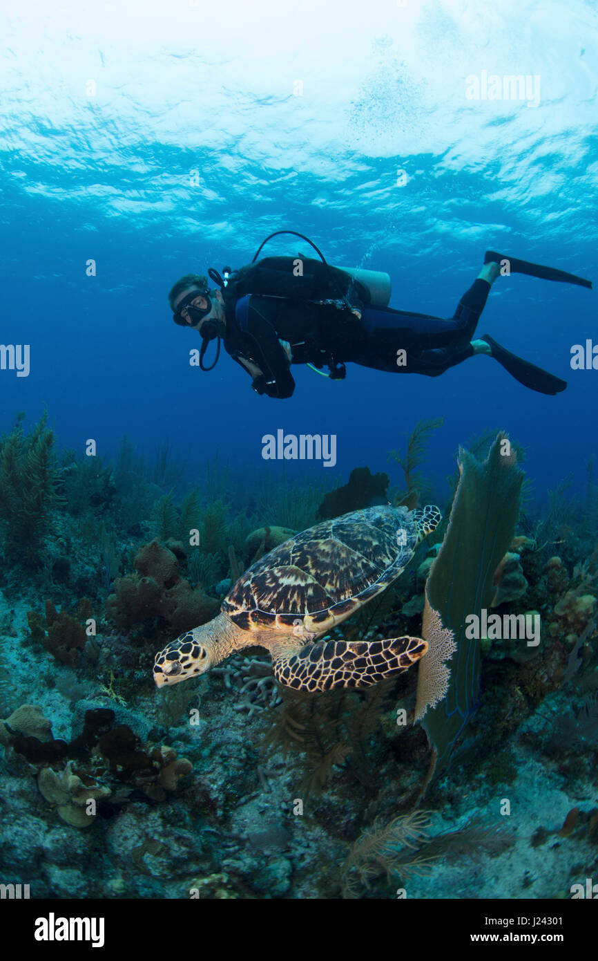 Scuba diver observes a turtle in the Cayman islands - Stock-Bilder