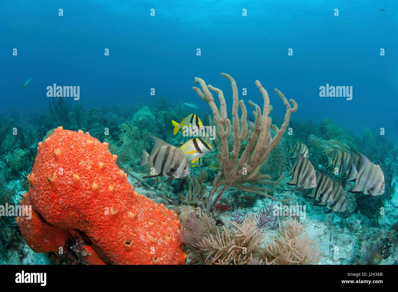 Atlantic spadefish and porkfish on a patch reef in Key Largo. - Stock-Bilder