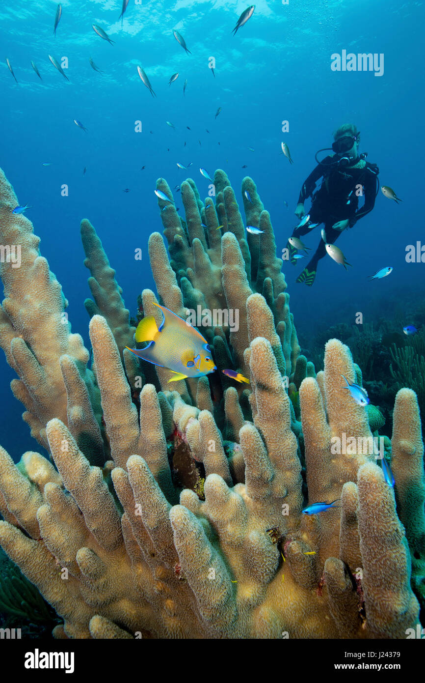 Reef scene with scuba diver and Pillar coral. - Stock-Bilder