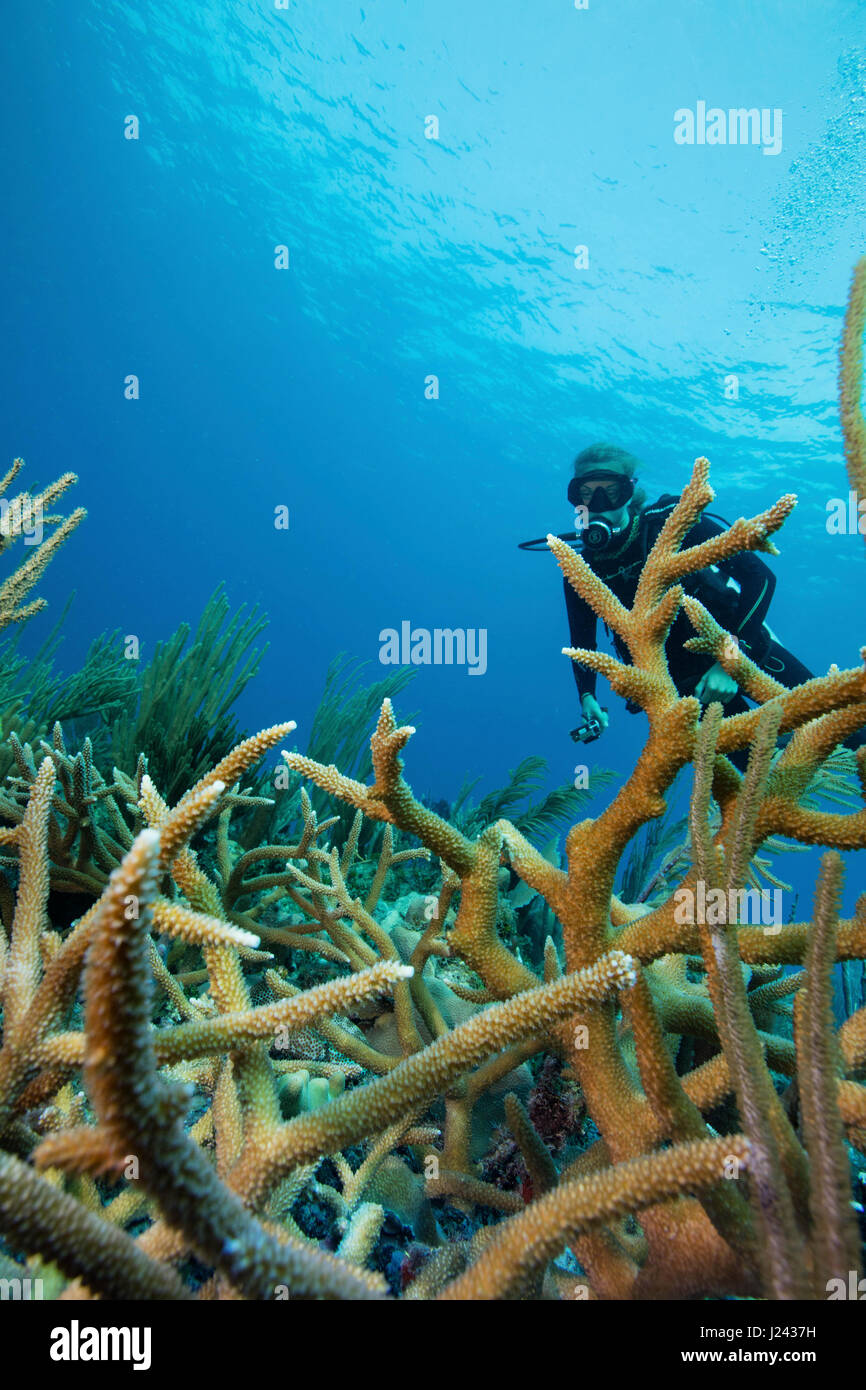 Reef scene with scuba diver and Staghorn coral - Stock-Bilder