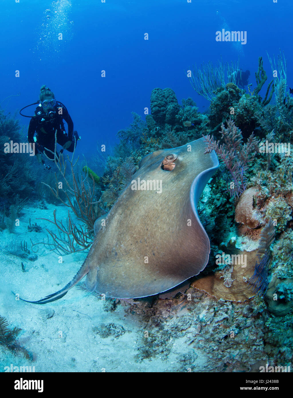 Scuba diver watches stingray as it swims over reef. - Stock-Bilder