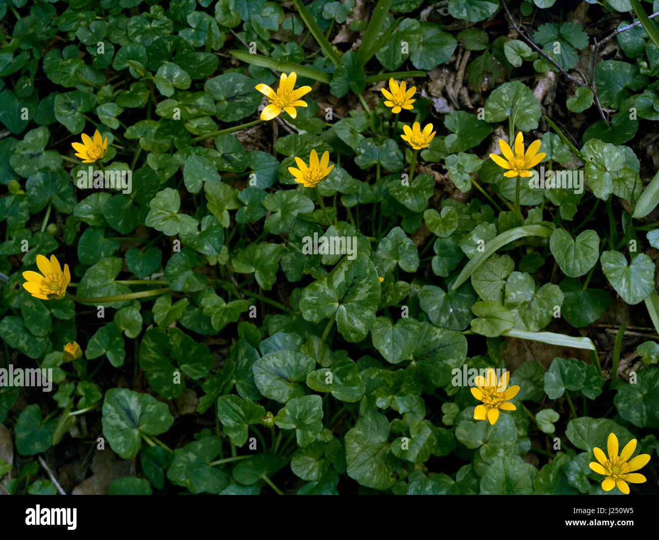 Lesser celandine in Cambridgeshire wood - Stock Image