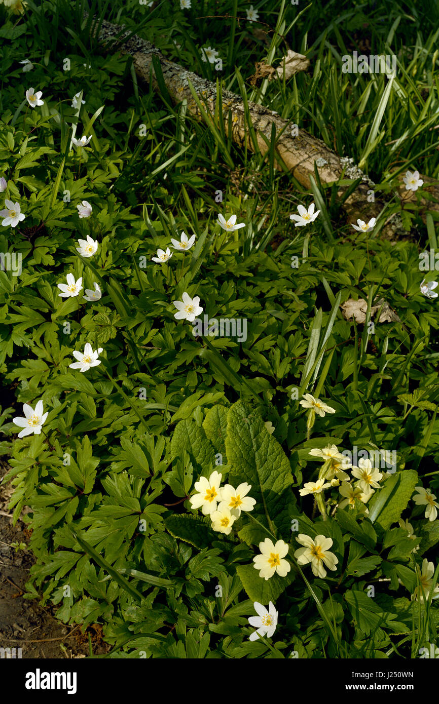 Primroses and wood anemone in Cambridgeshire wood - Stock Image