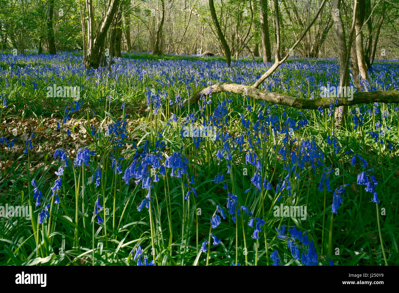 English bluebells in Gransden and Waresley Wood Cambridgeshire - Stock Image
