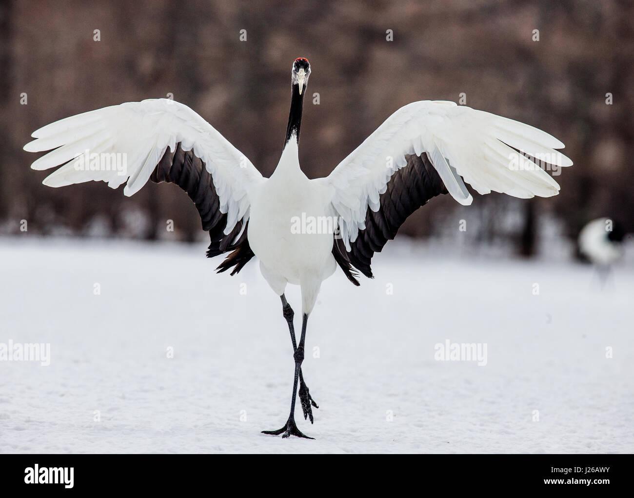 The Japanese crane spread its wings. Japan. Hokkaido. Tsurui. Great illustration. - Stock Image