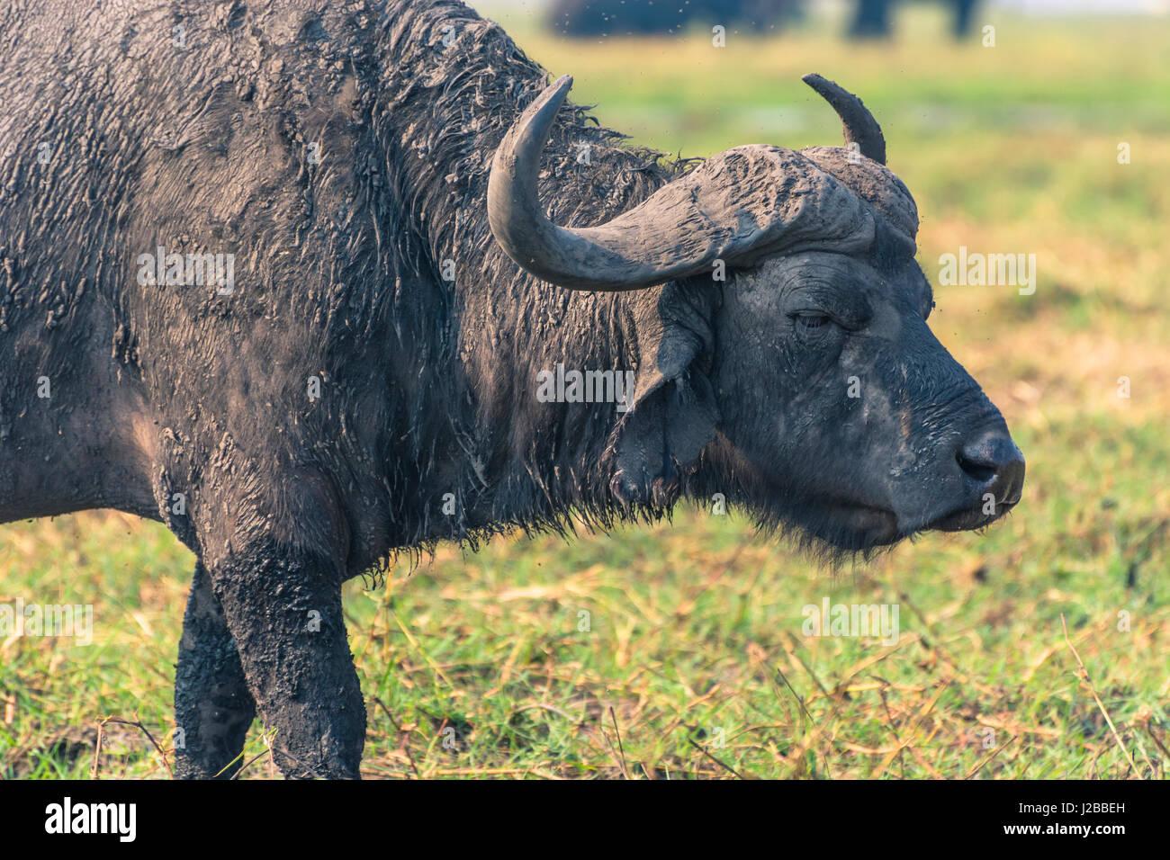 Botswana. Chobe National Park. Old male Cape Buffalo (Syncerus caffer) on the shore of the Chobe river. - Stock-Bilder