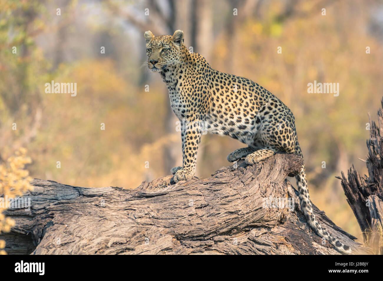 Botswana. Okavango Delta. Khwai concession. Leopard (Panthera pardus) looks out for prey on a fallen log. - Stock-Bilder