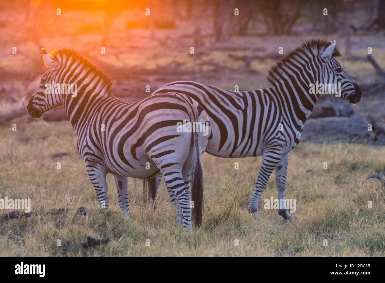 Botswana. Okavango Delta. Khwai concession. Burchell's zebra (Equus quagga burchellii) at sunrise - Stock-Bilder