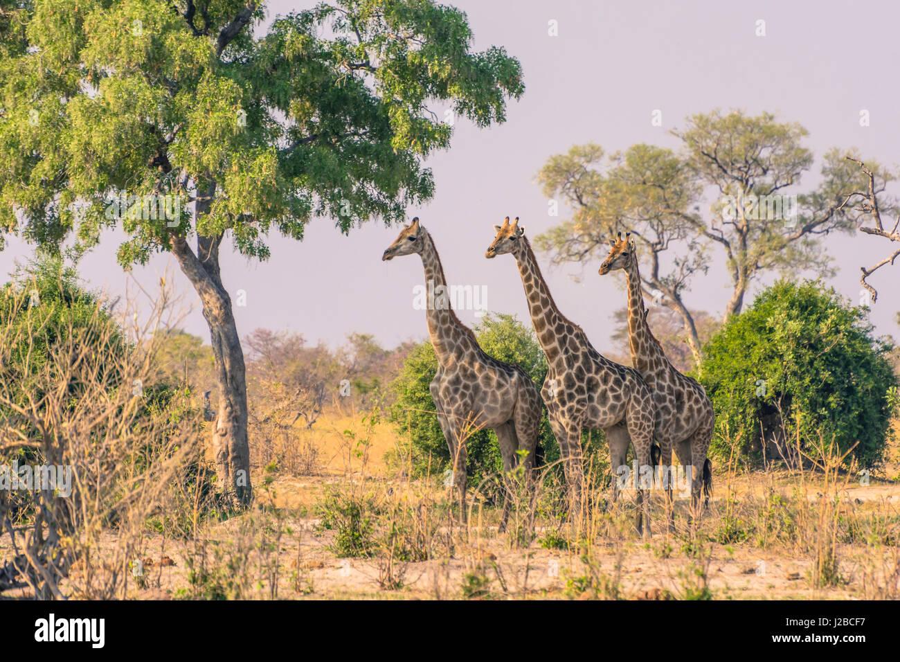 Botswana. Chobe National Park. Savuti. Giraffes intently watching a hidden lion in the bush. - Stock-Bilder