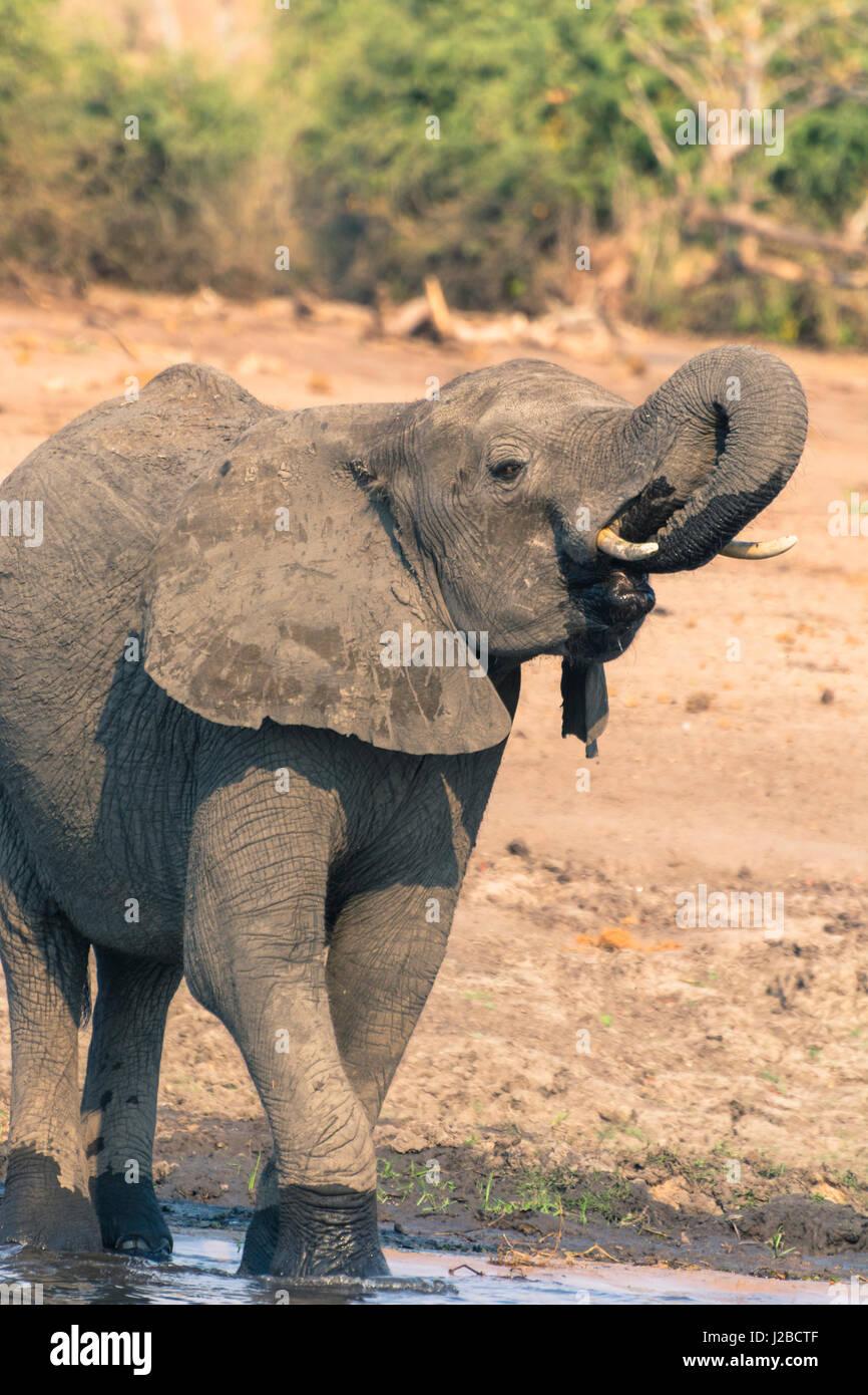 Botswana. Chobe National Park. Elephant (Loxodonta africana) drinking in the Chobe River. - Stock-Bilder